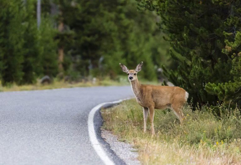 Cervo vicino alla strada